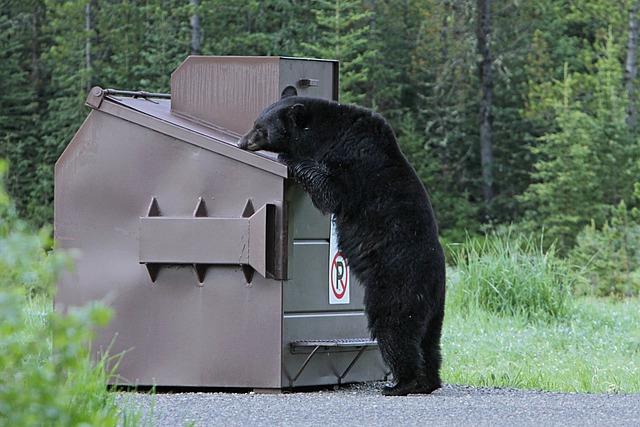 Black bear at dumpster